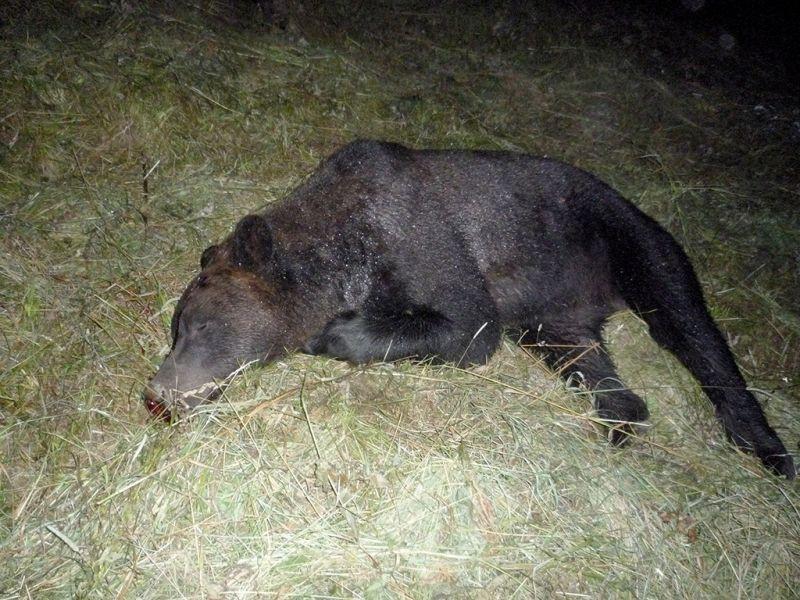 В Кузбассе фигурантом уголовного дела стал охотник, который застрелил медведя на пасеке