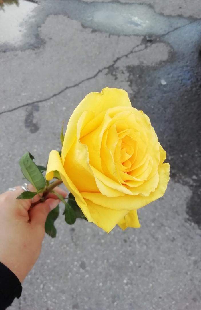 Неожиданная радость: сегодня многие прокопчанки получили в подарок розу