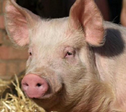 СМИ: в Кузбассе на ферме погибли около 5 тыс. свиней