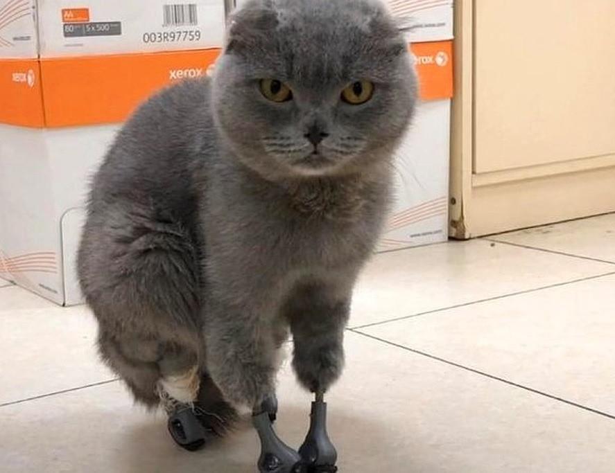 В Кузбассе живет кошка с четырьмя титановыми лапками