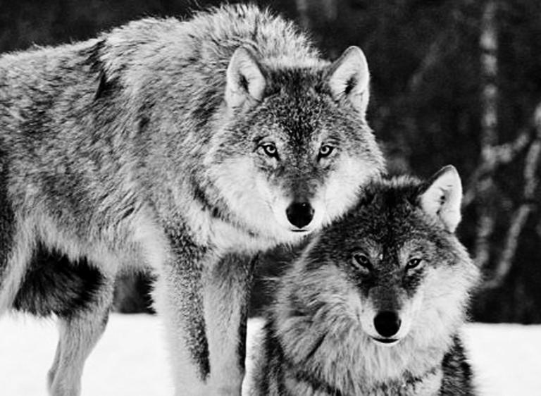 """""""Волки, волки"""": специалисты прокомментировали слухи о набегах волков"""