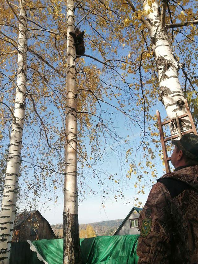 Медведь вышел к людям и залез на дерево
