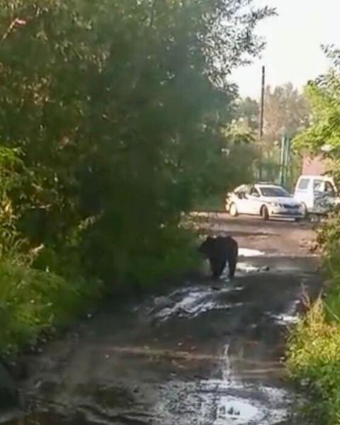 В Кузбассе медведь пришел в город за едой