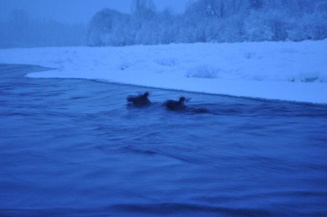 В заповеднике Кузбасса спасли тонущих лосей