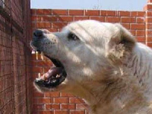 ВНовокузнецке полицейский застрелил алабая, который загрыз соседскую собаку