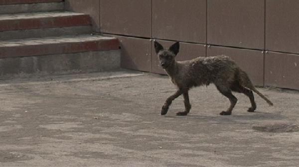 По улицам Прокопьевска бегала чернобурая лисица