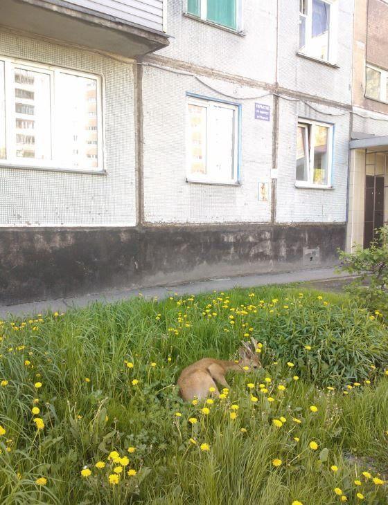 В Кузбассе раненая косуля вышла к людям