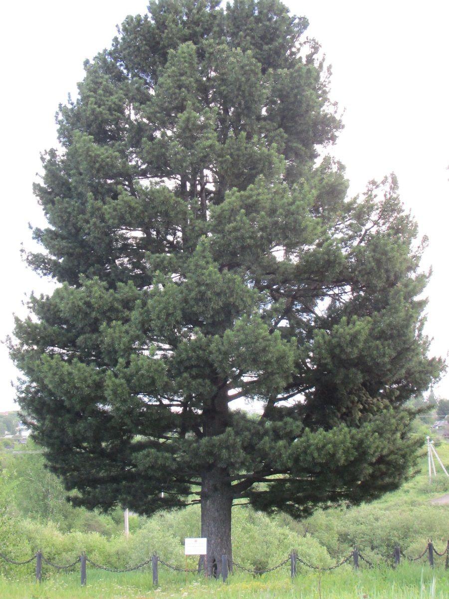 111-летняя кузбасская сосна претендует на звание дерева года в России