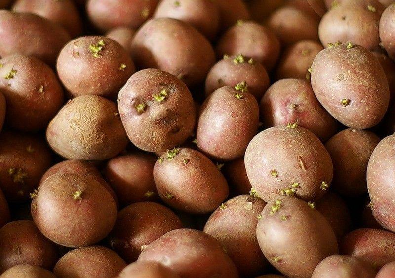 Россельхознадзор о запрете сажать картошку на даче