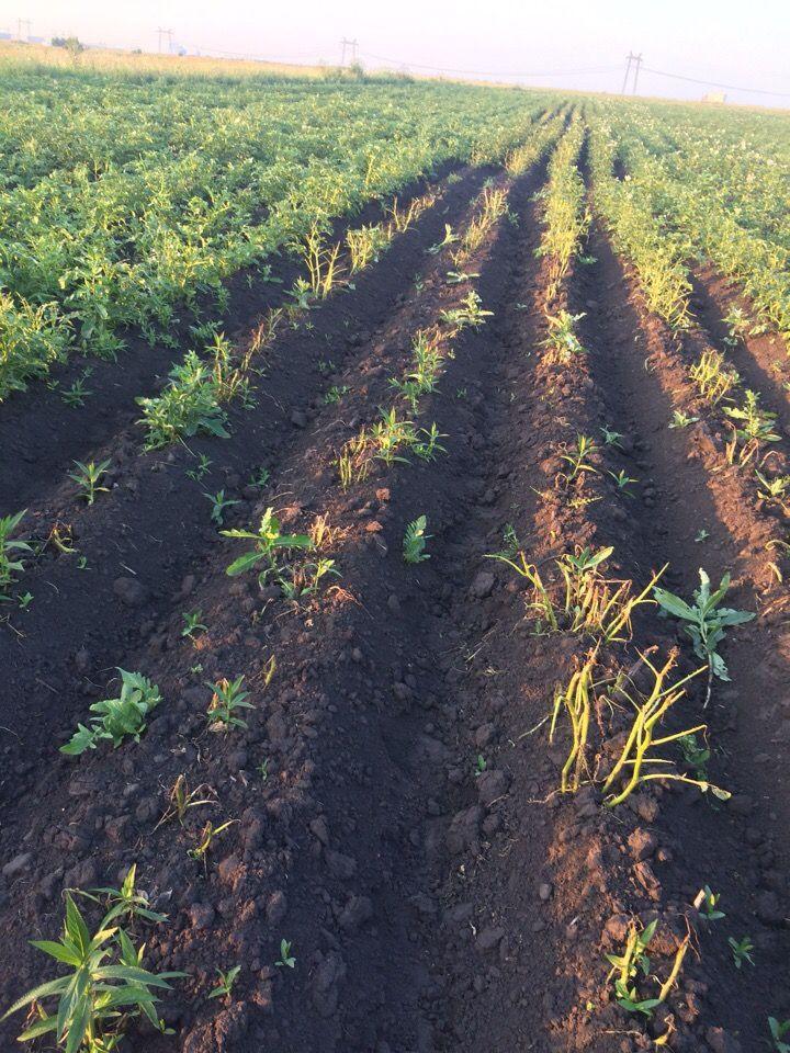 В Прокопьевском районе колорадский жук уничтожает картофель