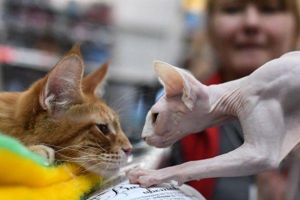 В Прокопьевске состоится выставка кошек