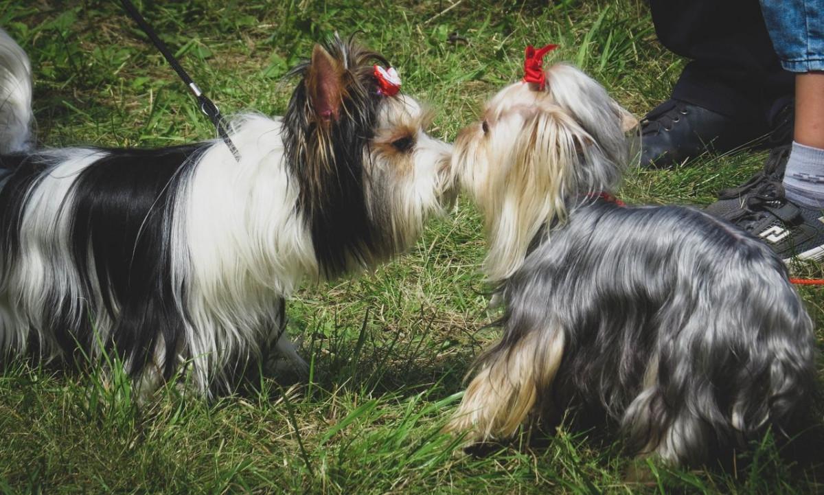 Как в Прокопьевске прошла международная сертификатная выставка собак (фото)
