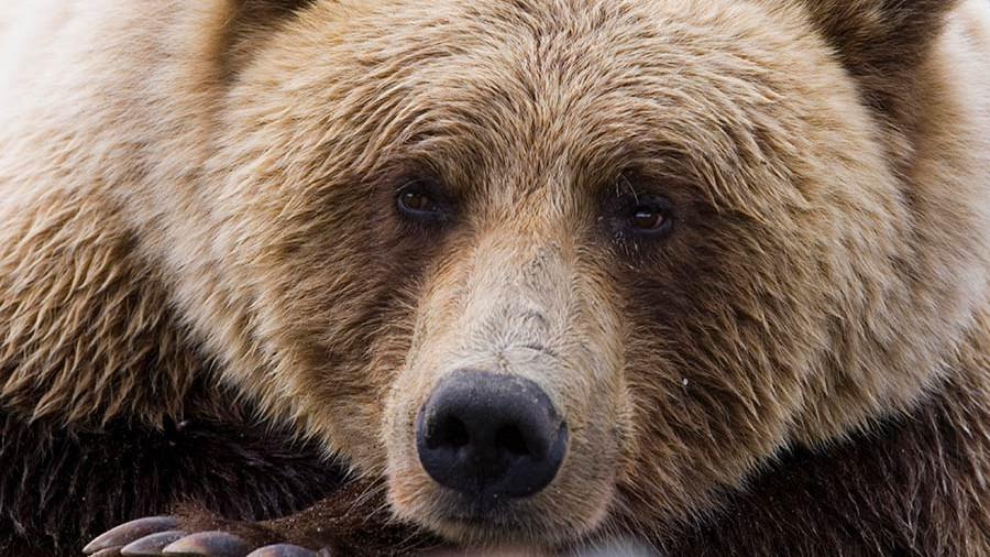 В Киселевске по городу бегал медведь