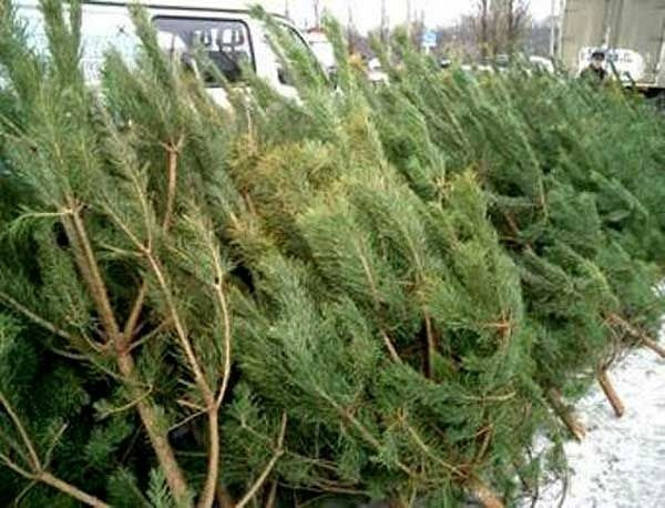 Приближается Новый год: Какой штраф грозит за незаконно срубленную елку
