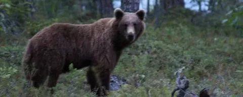 Медведи атакуют лагеря туристов на Казыре (видео)