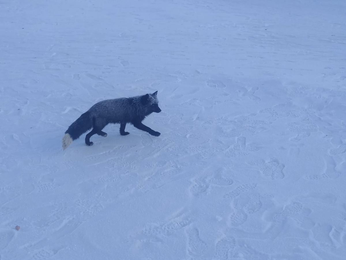 По Прокопьевску бегает лисица