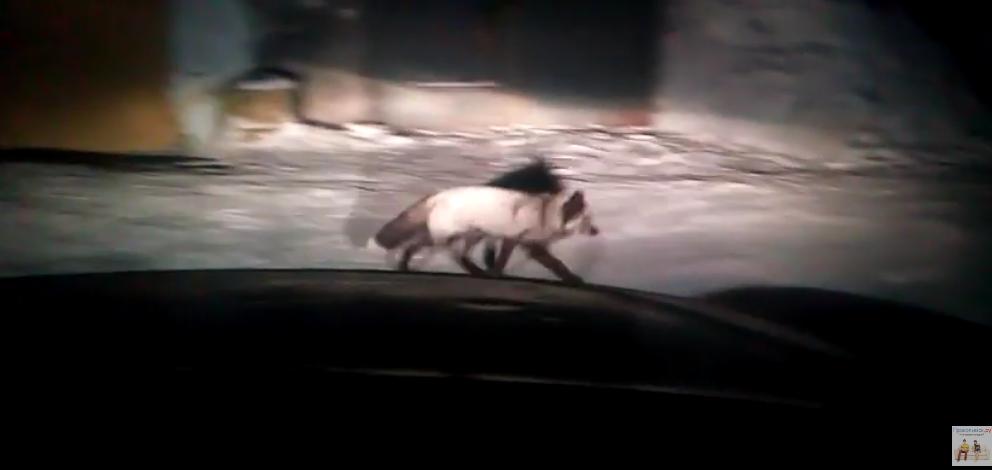 По Прокопьевску бегает чернобурая лисица