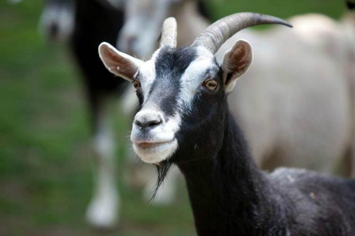 У прокопчанки украли любимую козу: полицейские нашли злодея