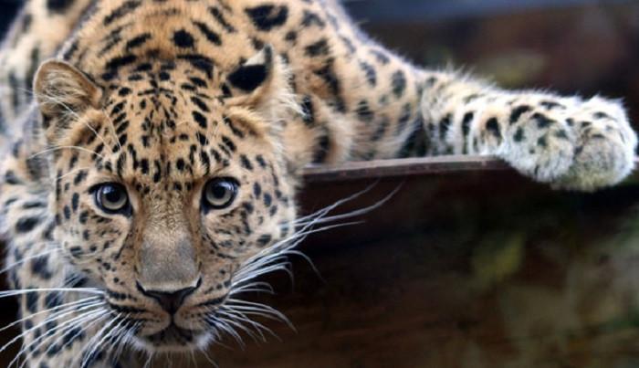 В Кузбассе возбуждено уголовное дело по факту содержания леопардов